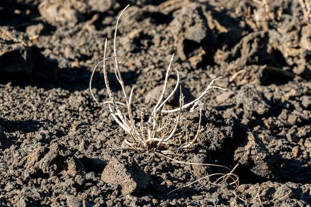 Planta seca vista próxima em solo preto Foto gratuita