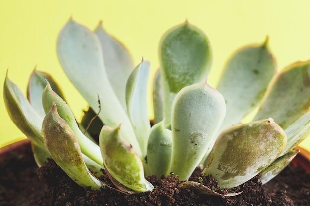 Planta suculenta em um amarelo. Foto Premium