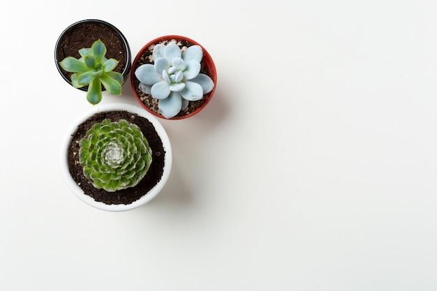 Planta suculentas no fundo do potenciômetro Foto Premium