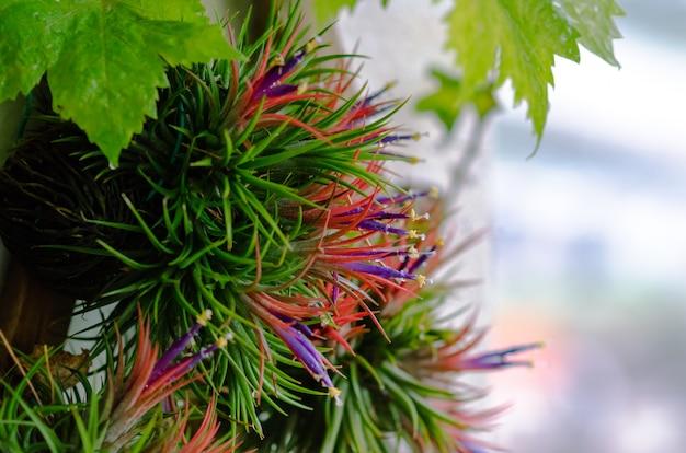 Planta tillandsia ou air que cresce sem o solo associado à madeira com suas flores coloridas. Foto Premium