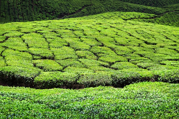 Plantação de chá em munnar Foto Premium