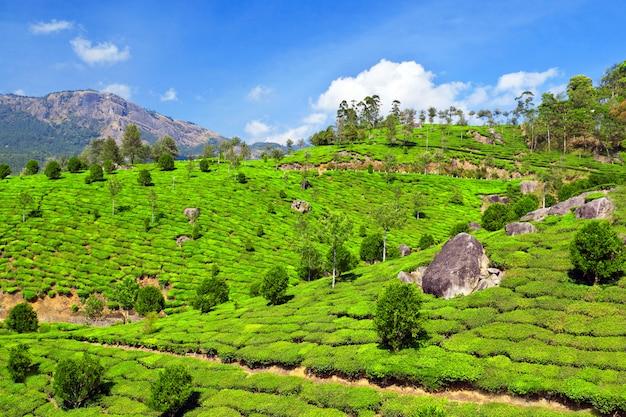 Plantação de chá Foto Premium