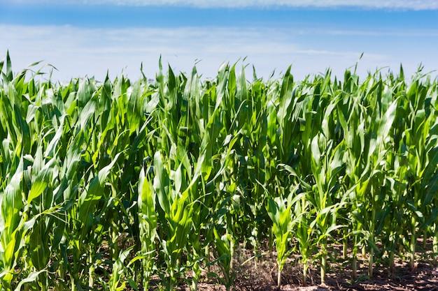 Plantação de milho no verão no campo argentino Foto Premium