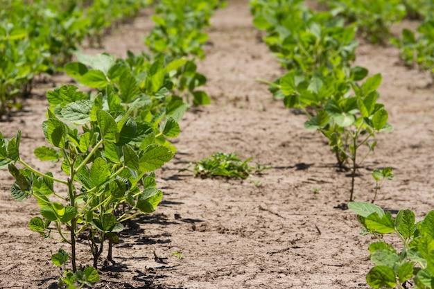 Plantação de soja no verão no pampa argentino Foto Premium