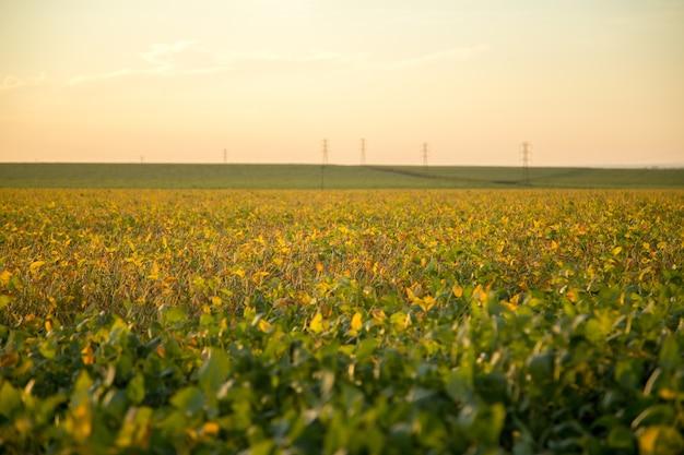 Plantação de soja Foto Premium