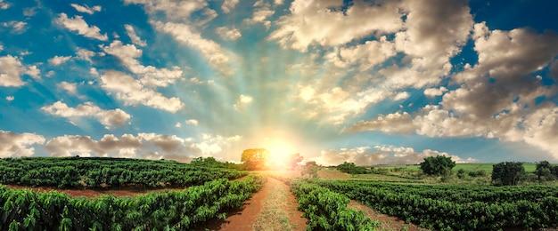 Plantação - pôr do sol na paisagem de campo de café Foto Premium