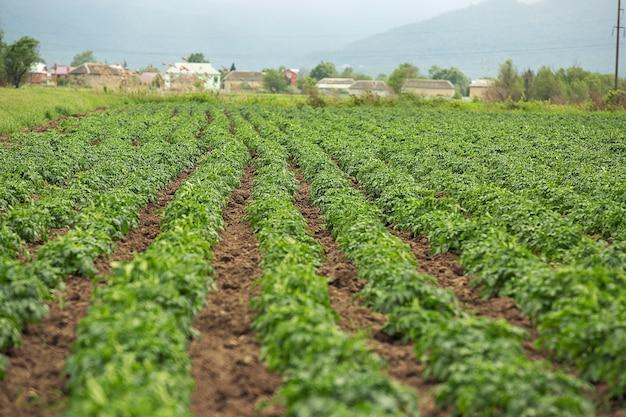Plantação verde com colheita na vila. Foto gratuita