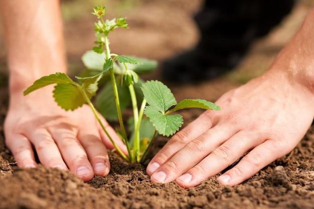 Plantando morangos no jardim Foto Premium