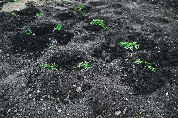 Plantar batatas novas Foto Premium