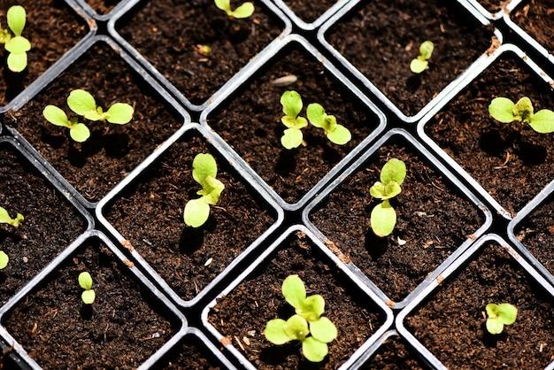 Plantar legumes alface verde jovem planta Foto Premium