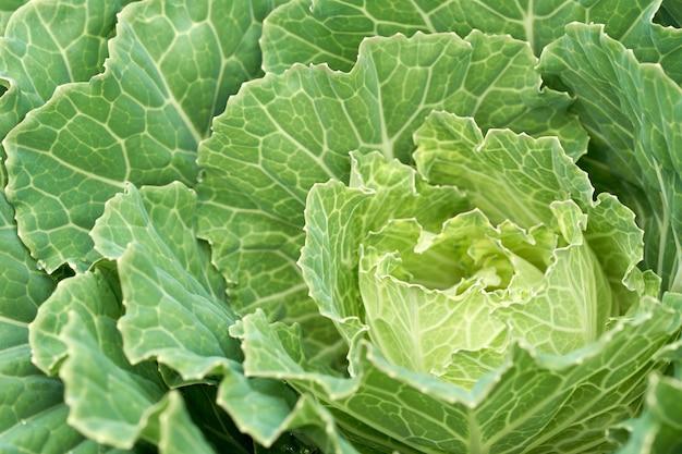 Plantar legumes para venda, produzir legumes saudáveis. Foto Premium