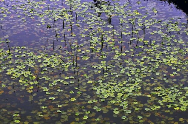 Plantas aquáticas verdes flutuando em um pântano Foto gratuita