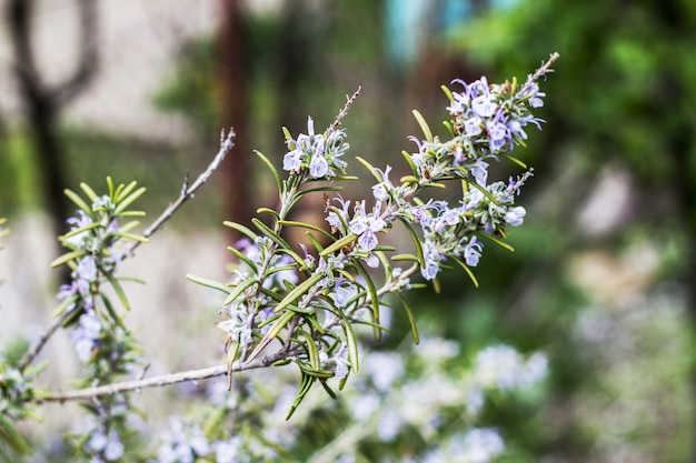 Plantas de alecrim em flor no jardim de ervas azul verde bokeh Foto Premium