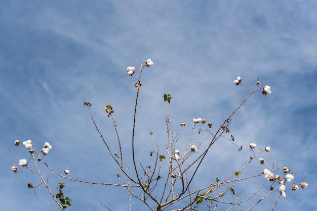 Plantas de algodão desfolhadas em um campo de algodão Foto Premium