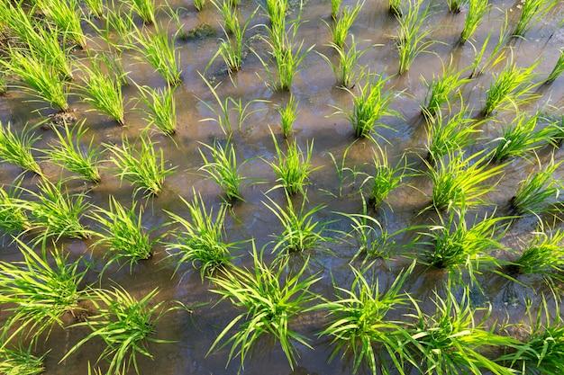 Plantas de arroz ou arroz orgânico na água, brotar pronto para crescer no campo de arroz Foto Premium
