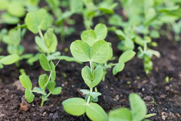 Plantas de ervilha novas no jardim adiantado da mola. Foto Premium