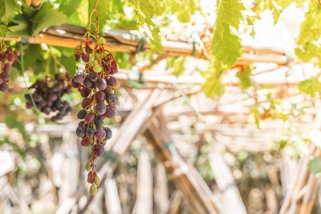 Plantas de fruto das uvas vermelhas ao ar livre pelo por do sol. Foto Premium