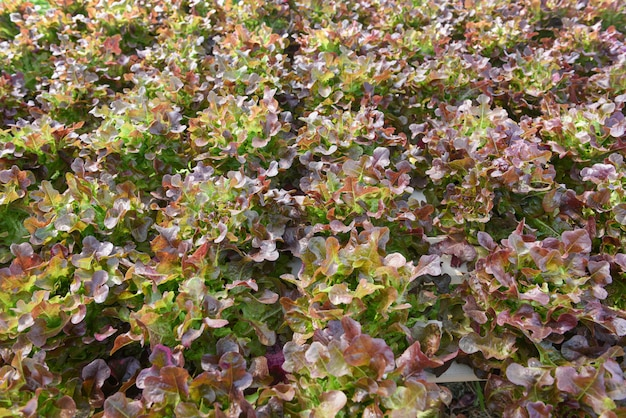 Plantas hidropônicas da salada da fazenda na água sem agricultura do solo no sistema hidropônico vegetal orgânico da estufa crescimento novo e fresco da salada da alface do carvalho vermelho Foto Premium