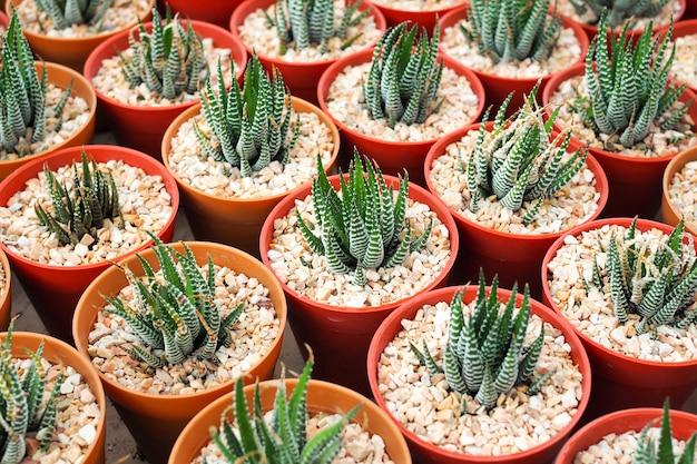 Plantas suculentas decorativas em miniatura em vaso, aloe vera Foto Premium