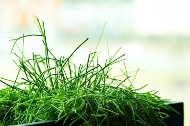 Plantas verdes ou grama no recipiente preto, pote para casa, restaurante, café e decoração do escritório. primavera e verão. conceito de estilo de vida minimalista. Foto Premium