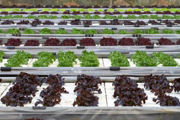Plantio de salada vegetal por hidroponia de tecnologia Foto Premium