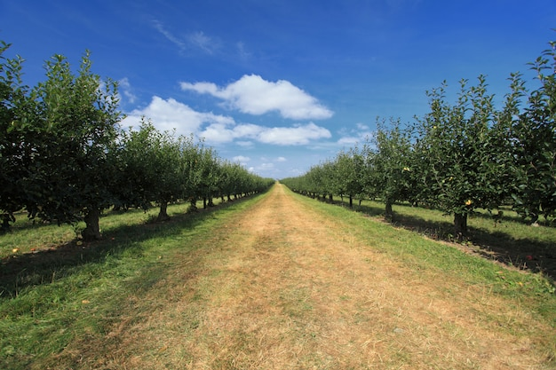 Pomar de macieiras Foto Premium