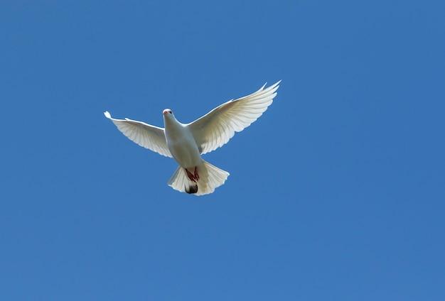 Pombo de pena branca voando contra o céu azul claro Foto Premium