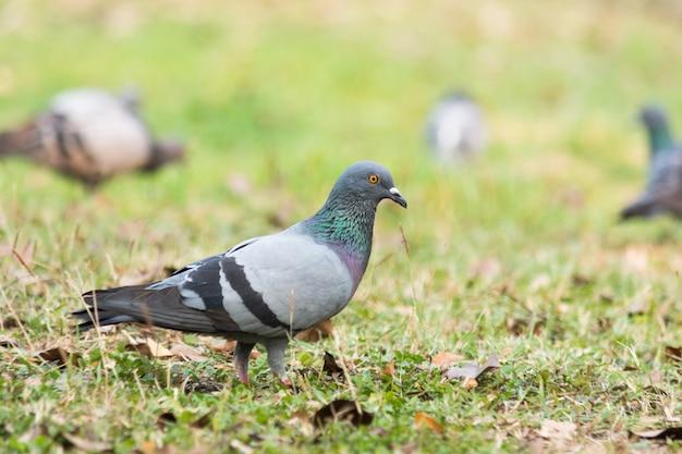 Pombo na grama do parque, pomba do rock, retrato de um pombo Foto Premium