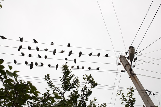 Pombos descansando no fio elétrico com o topo da árvore Foto Premium