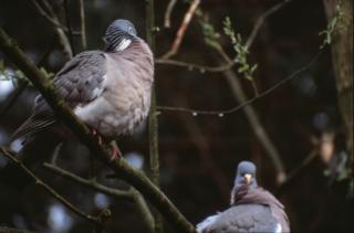 pombos, ramos Foto gratuita