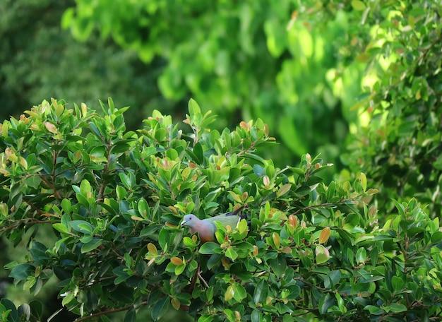 Pombos verdes grosso-faturados colhendo frutas em uma árvore na luz solar da noite, tailândia Foto Premium
