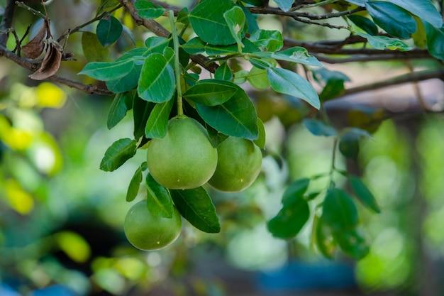 Pomelo na árvore Foto Premium