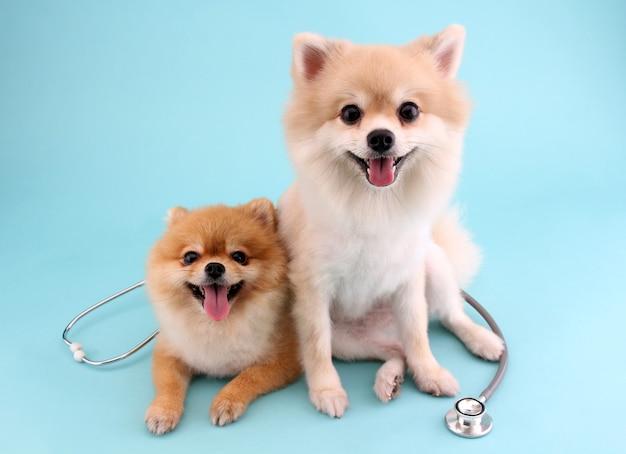 Pomeranian cachorrinho fofo com estetoscópio como veterinário em azul Foto Premium