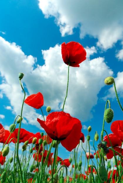 Poppys e céu Foto Premium