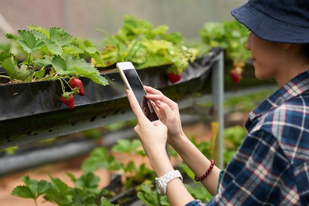 Por cima do ombro tiro de um jardineiro feminino tomando um tiro de morango maduro Foto gratuita