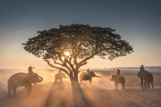 Pôr do sol e mahout com elefantes Foto Premium