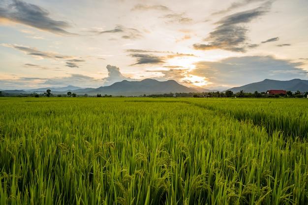 Pôr do sol no campo de arroz scape Foto Premium