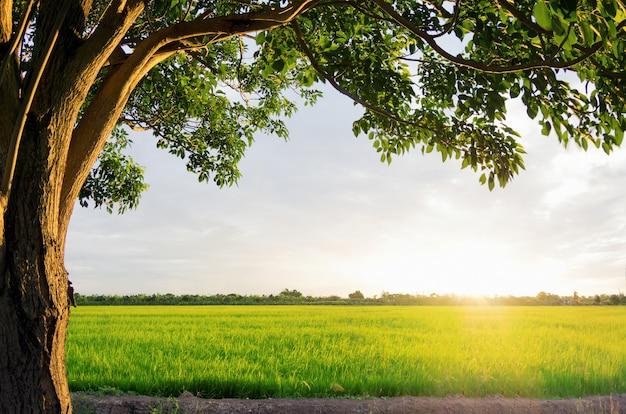 Pôr do sol sobre os campos de arroz Foto Premium