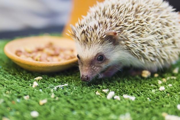 Porco-espinho anão comendo comida em jardim verde mímica Foto gratuita