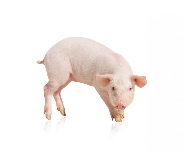 Porco rosa isolado Foto Premium
