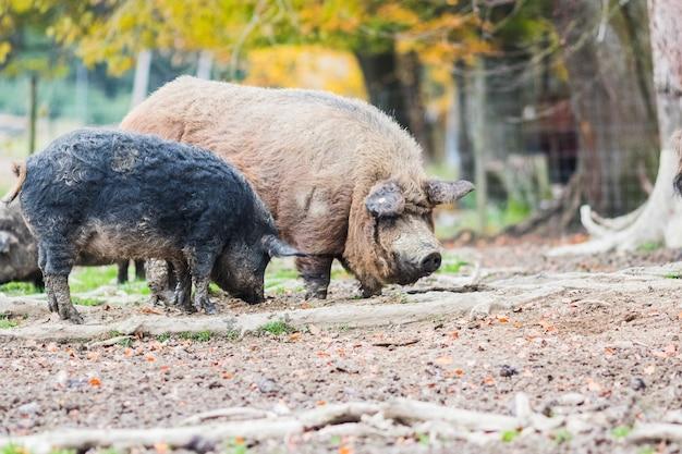 Porcos da raça mangálica Foto Premium
