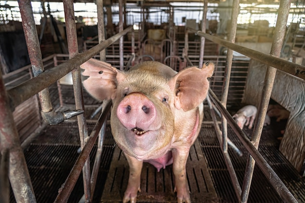 Porcos em fazendas de suínos, indústria de suínos Foto Premium