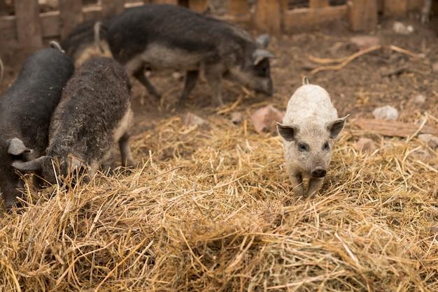 Porcos no chiqueiro de uma fazenda Foto gratuita