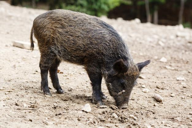 Porcos selvagens na floresta de verão Foto Premium