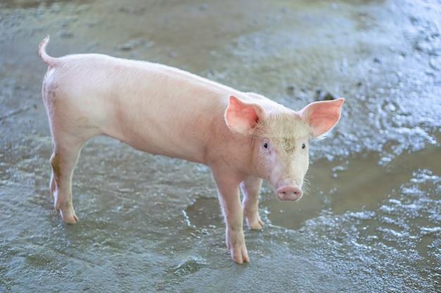 Porquinho de 2 meses de idade que parece saudável em uma fazenda de porcos asean local. Foto Premium