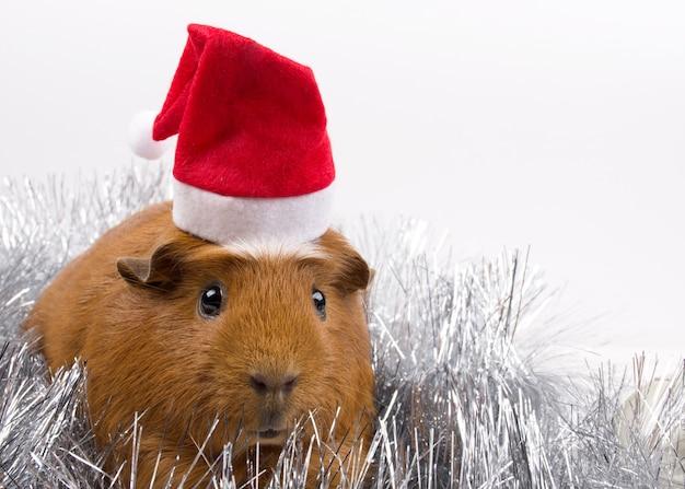 Porquinho fofo usando um chapéu de papai noel Foto Premium