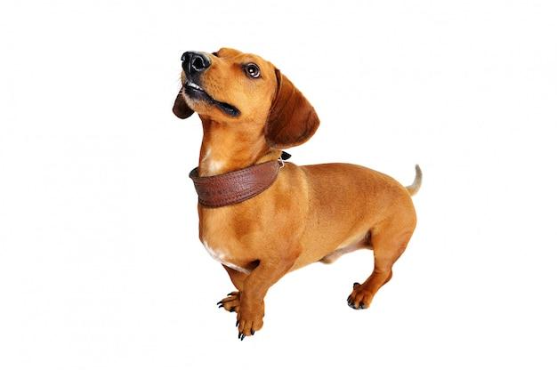 Portait de comprimento total de uma vista superior do cão bassê Foto Premium