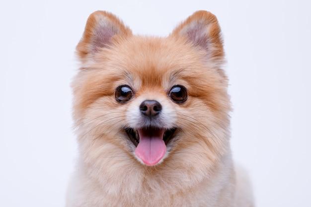 Portraite de cachorrinho fofo fofo de spitz pomeranian. cachorrinho em branco Foto Premium