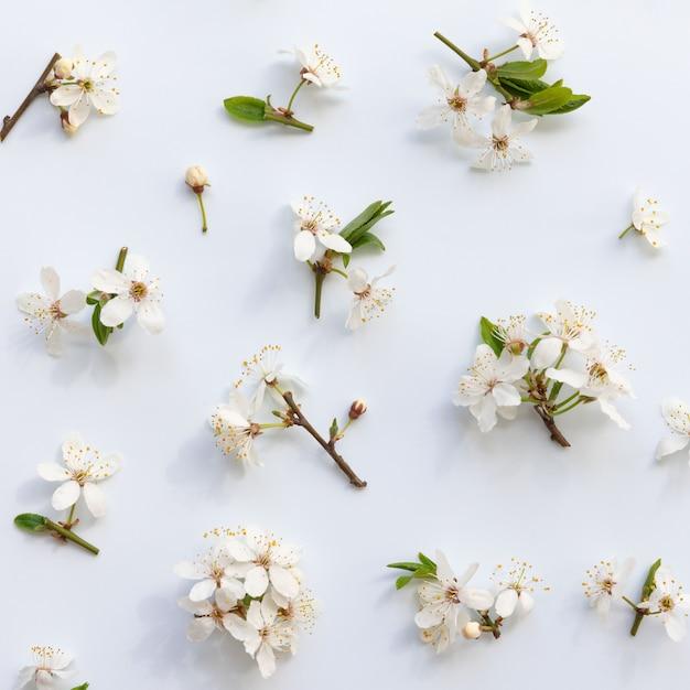 Postura plana de galhos de cereja selvagem com jovens folhas verdes, inflorescência com brotos e flores sobre fundo azul claro Foto Premium