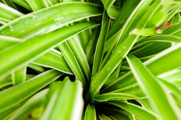 Potenciômetro fresco da planta de aranha das folhas no jardim da casa. Foto Premium